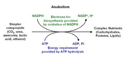 anabolism.png